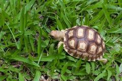Sköldpadda som går på gräset Fotografering för Bildbyråer