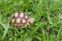 Sköldpadda som går på gräset Royaltyfri Foto