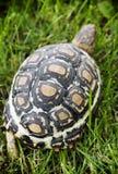 Sköldpadda som går på gräsmattan Arkivfoton