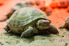 Sköldpadda som går på sand royaltyfria bilder