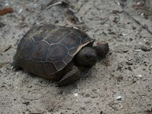 sköldpadda som går på sanden på en strand arkivfoto