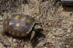 sköldpadda som går på sanden på en strand fotografering för bildbyråer
