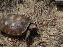 sköldpadda som går på sanden på en strand arkivfoton