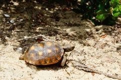 sköldpadda som går på sanden på en strand royaltyfria bilder