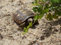 sköldpadda som går på sanden på en strand royaltyfria foton