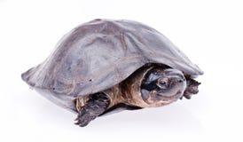 Sköldpadda som isoleras in på vit Royaltyfria Foton