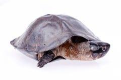 Sköldpadda som isoleras in på vit Arkivfoton