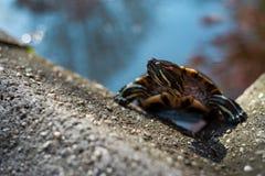 sköldpadda som klättrar ut ur ett konstgjort damm royaltyfri foto