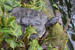 Sköldpadda som kyler på flodstranden arkivbilder