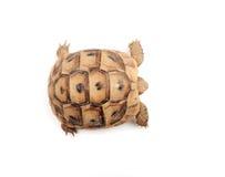Sköldpadda som poserar serie Arkivbild