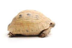 Sköldpadda som poserar serie Royaltyfri Foto