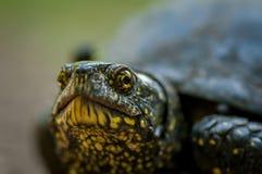 Sköldpadda som skjutas i naturlig miljö Arkivbild