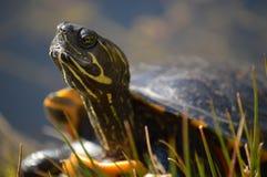Sköldpadda som tar en sunbath arkivbilder