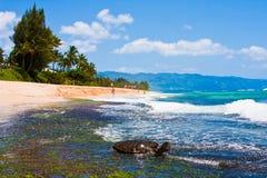 Sköldpadda som tycker om solskenet i stranden i Oahu, Hawaii Arkivbild