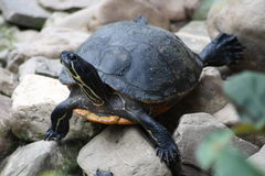 Sköldpadda (Testudinidae) Royaltyfria Foton