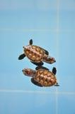 sköldpadda två Arkivbilder