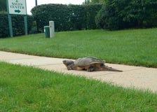 Sköldpadda ut ur vatten Arkivfoto
