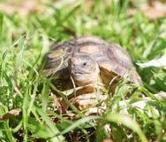 Sköldpaddaanseende på gräset royaltyfri fotografi
