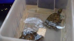 Sköldpaddabad i en plast- behållare stock video