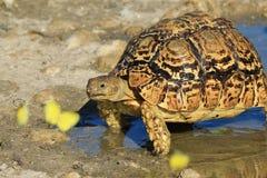 Sköldpaddabakgrund - afrikanska djurlivfärger Royaltyfria Bilder