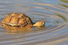 Sköldpaddabakgrund - afrikanska djurlivvågor Royaltyfri Bild