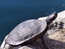 Sköldpaddacloseup Arkivfoton