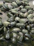 Sköldpaddadamm arkivfoto