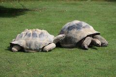 Sköldpaddaförälskelse arkivfoton