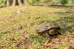 Sköldpaddafacepalm Royaltyfri Foto
