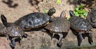 Sköldpaddafamilj Arkivbilder