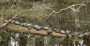 Sköldpaddafolkmassa som sunning sig på en lång journal Arkivfoto