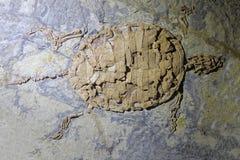 Sköldpaddafossil Arkivfoton