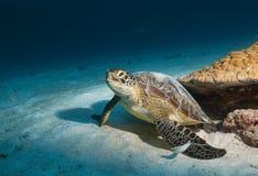 Sköldpaddafotografiet fångade jag undervattens- i Maldiverna, fena, och baksidan mönstras delightfully Royaltyfri Fotografi