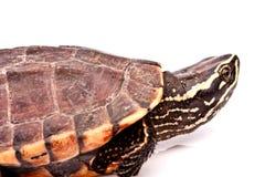 Sköldpaddakrypande på vit bakgrund Arkivfoton
