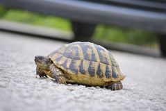 Sköldpaddakrypning över vägen arkivfoto