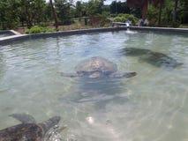 Sköldpaddalantgård i storslagna Caymen Arkivbilder