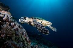 Sköldpaddamatning Royaltyfria Bilder
