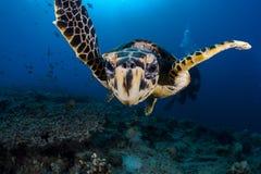 Sköldpaddanärbild Arkivfoto