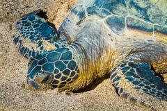 Sköldpaddanärbild royaltyfria foton