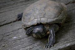 Sköldpaddan är på ett cementgolv royaltyfria foton