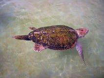 Sköldpaddan Arkivbild