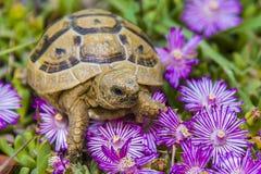 Sköldpaddan döljer i gräset bland blommorna i vår i Israel royaltyfri foto