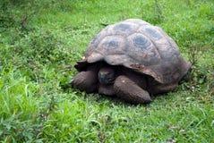 Sköldpaddan för Galà ¡ pagos Arkivfoton