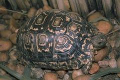 Sköldpaddan går på stenig trädgård och äter gräs Arkivbilder