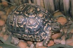 Sköldpaddan går på stenig trädgård och äter gräs Royaltyfri Fotografi