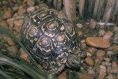 Sköldpaddan går på stenig trädgård och äter gräs Arkivfoton