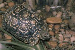 Sköldpaddan går på stenig trädgård och äter gräs Royaltyfri Foto