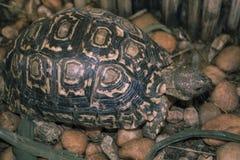 Sköldpaddan går på stenig trädgård och äter gräs Royaltyfria Bilder