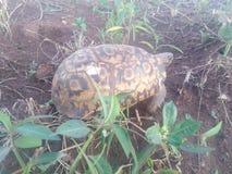 Sköldpaddan grundar in i region för ¬ för ‡ för ºðŸ för Uganda central arkivbild