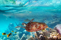 Sköldpaddan i det tropiskt bevattnar av Thailand Royaltyfria Foton